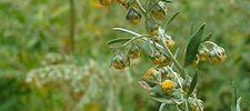 Artemisia Absinthium - Blütenstand